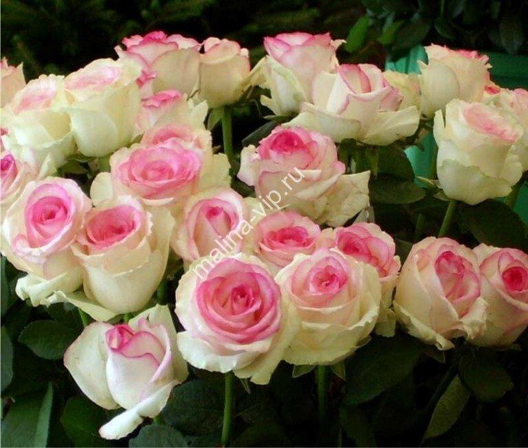 Бело розовые розы фото