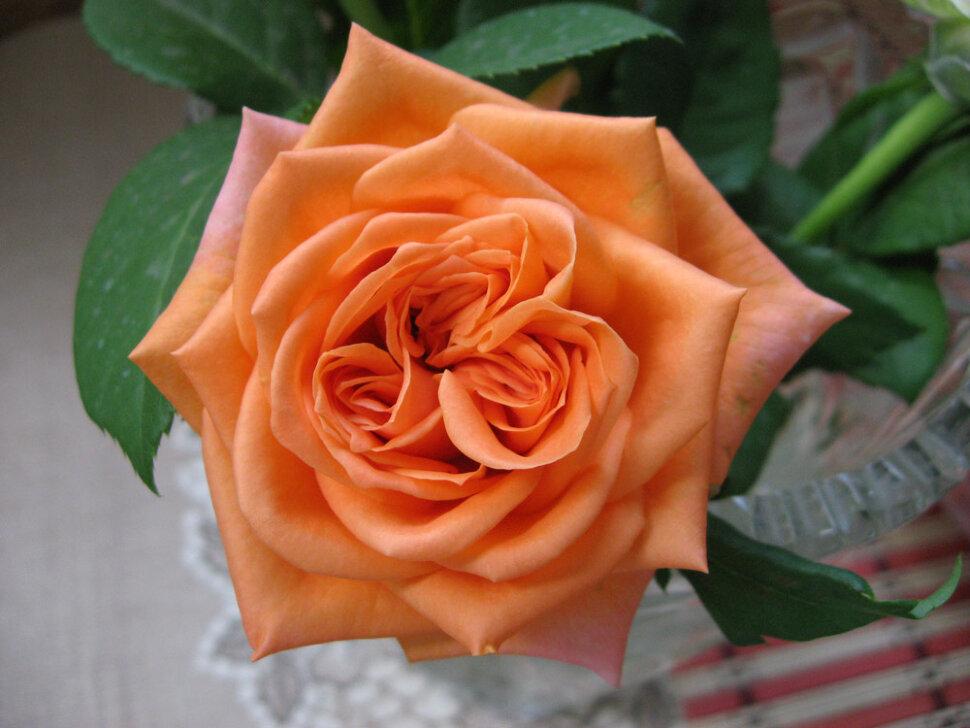 эльдорадо роза фото