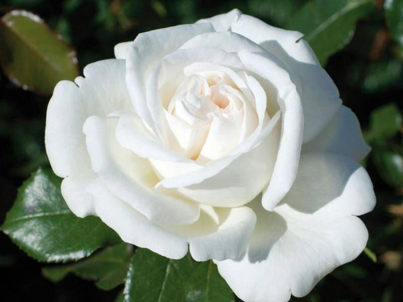 Чайно гибридная роза белая