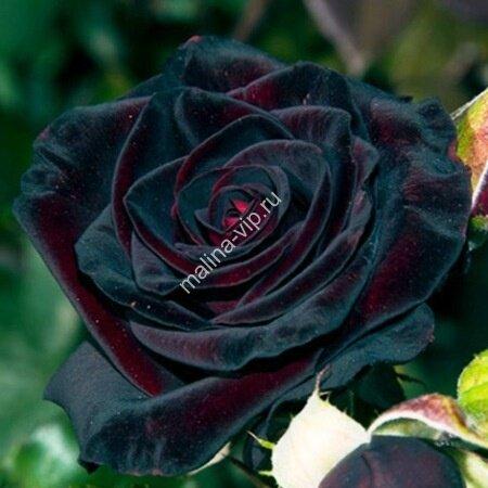 роза картинки черная
