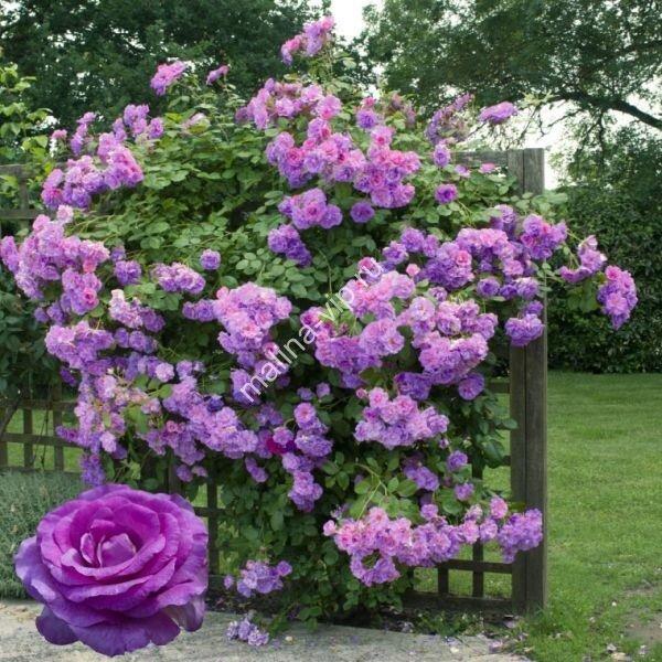 Indigoletta индиголетта роза