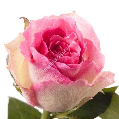 роза малибу фото и описание отзывы